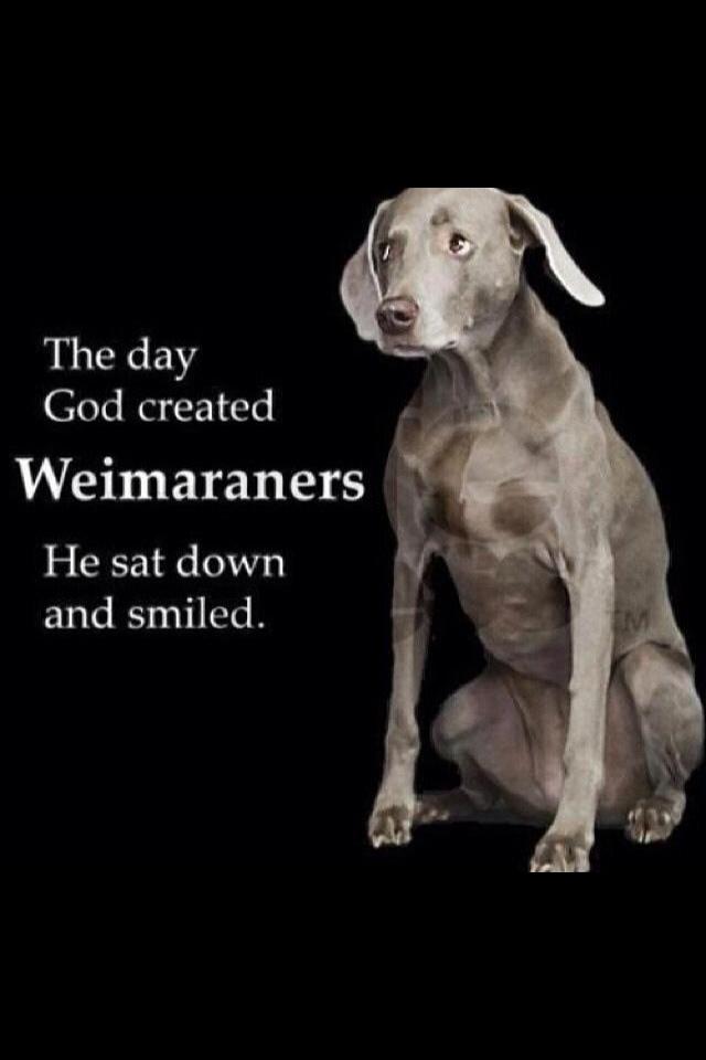 My Weimaraner Weimaraner Dogs Blue Weimaraner