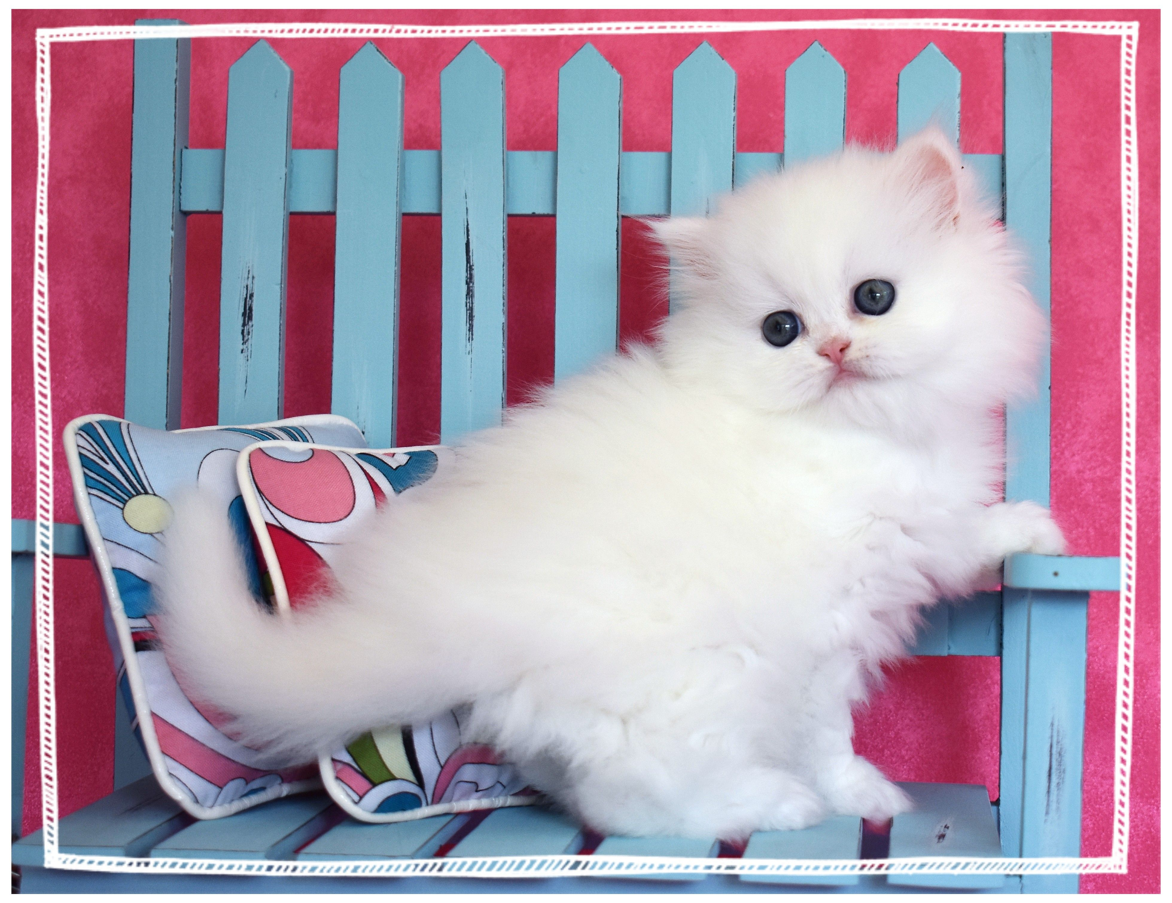 White Teacup Persian Kittens For Sale Stop By The Website Today To Choose One For Your Family Persian Kittens Kitten For Sale White Fluffy Kittens