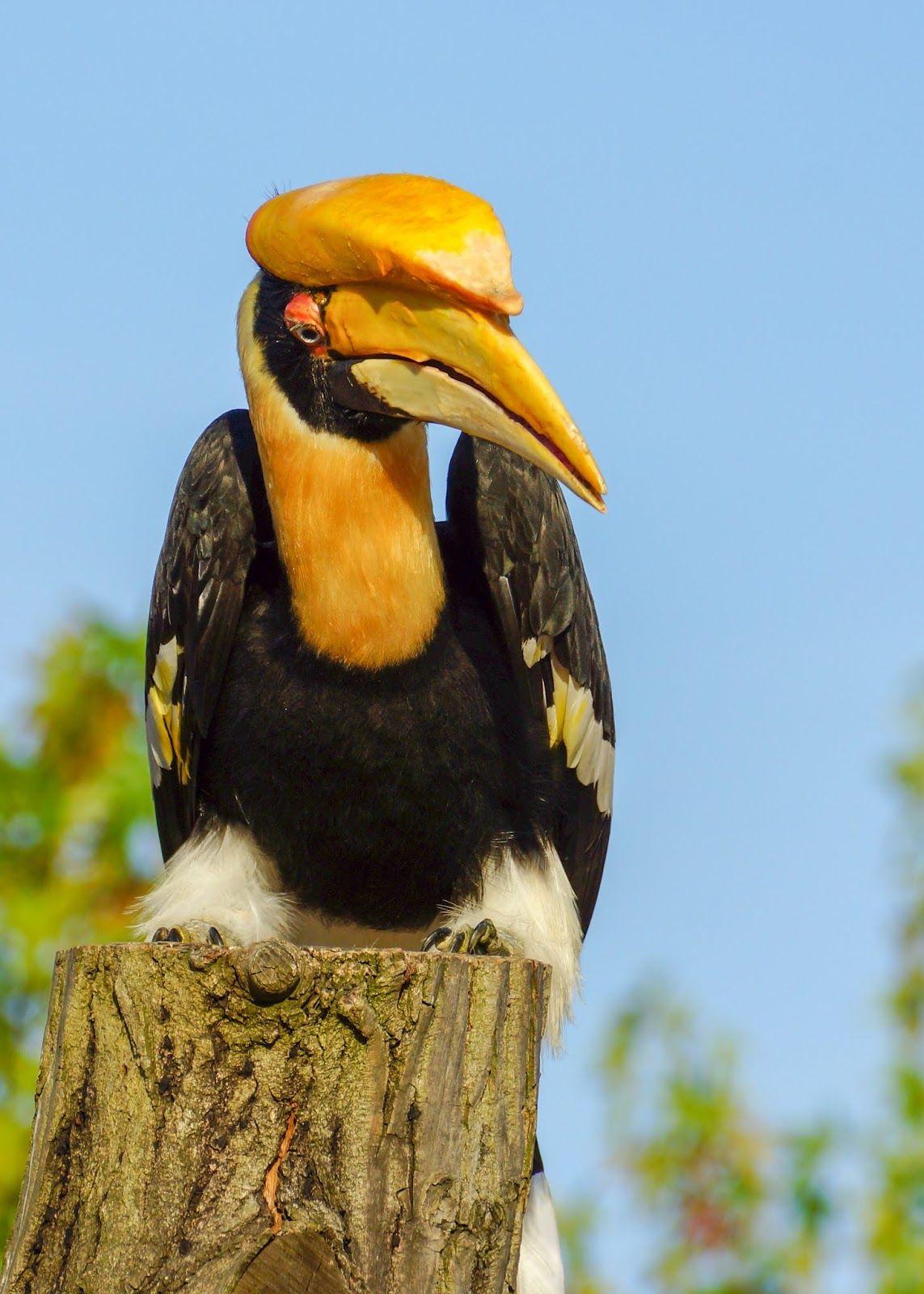 Calau Bucerotidae Pet Birds Beautiful Birds Nature Birds