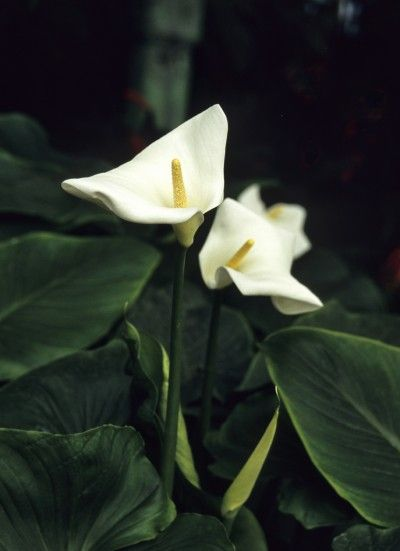Peace Lily Not Blooming Reasons A Peace Lily Never Flowers Peace Lily Flower Peace Lily Plant Lily Plants