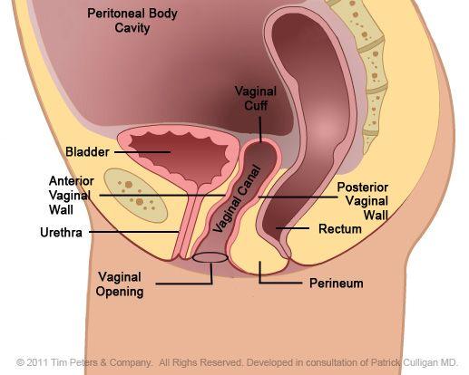 Pelvic Floor Anatomy No Uterus Medical Anatomy Pinterest