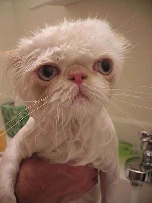 15 Angry Wet Cats With Images Wet Cat Cats Cat Care