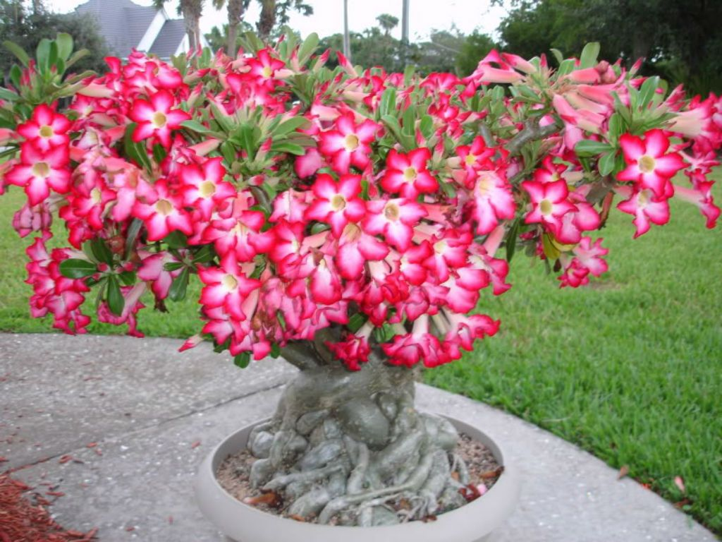 How To Grow And Care For A Desert Rose Adenium Obesum Rose Du
