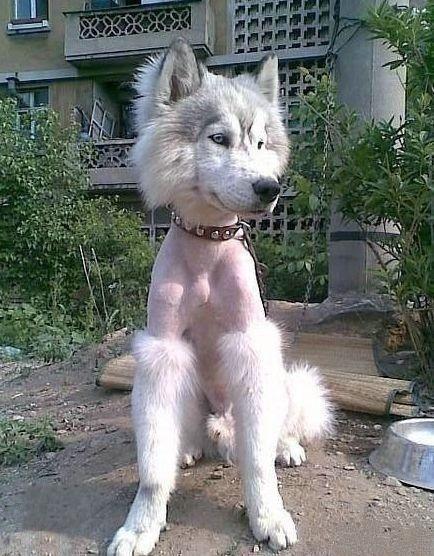 ハスキー犬 耐えたらネ申 笑わざるを得ないおもしろ画像集 爆笑画像集 Naver まとめ おかしな動物 ハスキー犬 犬のグルーミング