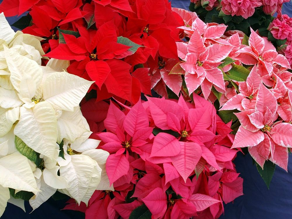 How To Grow Christmas Poinsettias A Country Garden Journal Christmas Flowers Poinsettia Flower Flowers