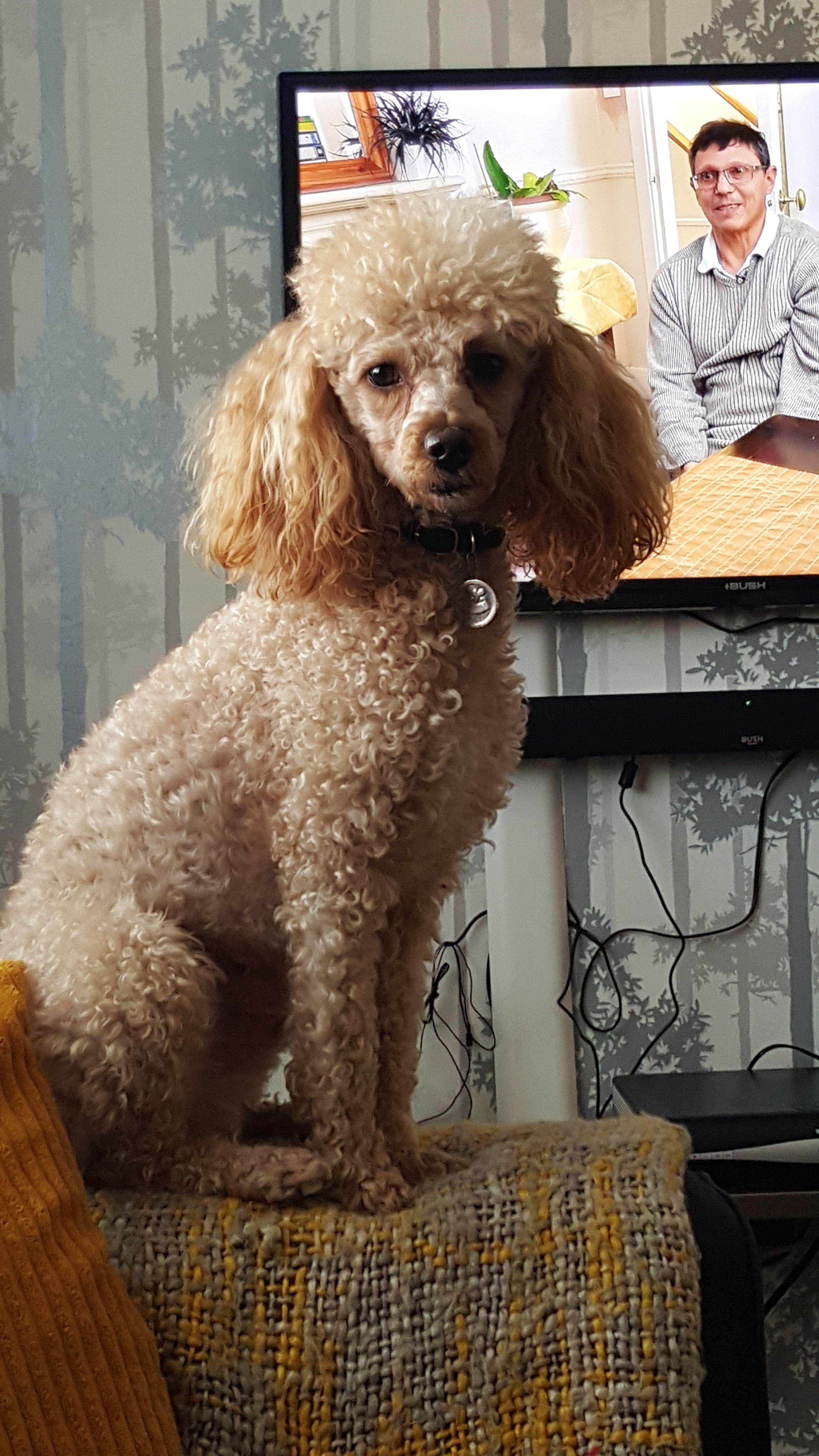Cooper minature poodle miniature poodle poodle