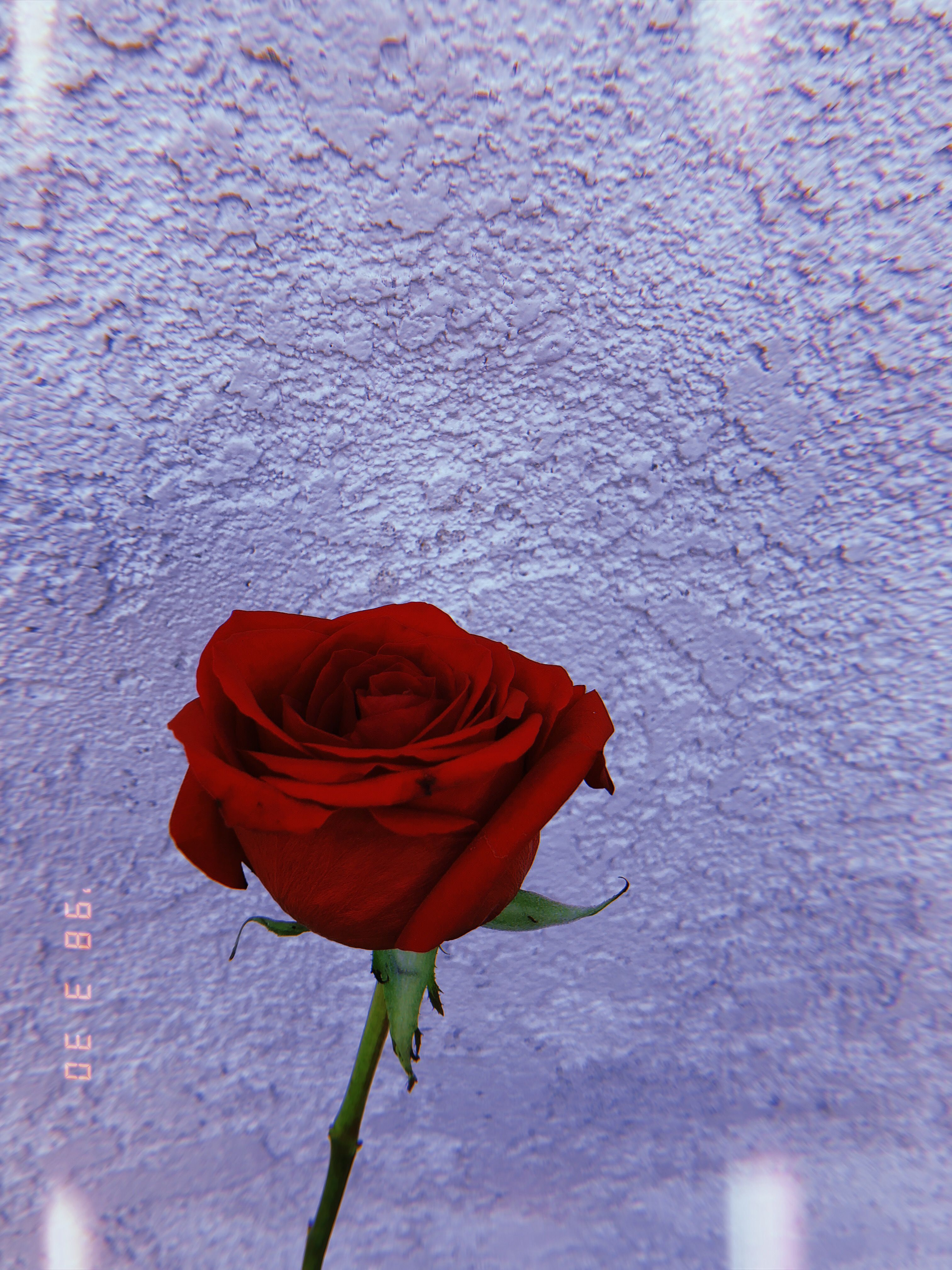 Pin by Giancarlo Co on boy's rose Rose wallpaper