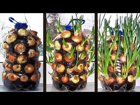 As Plant Onions In A Plastic Bottle Step By Step And Very Easy