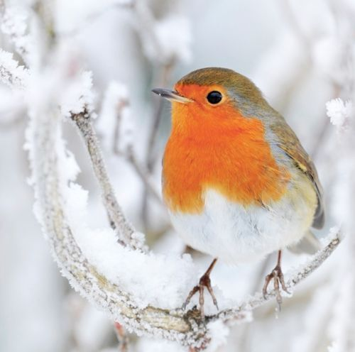 Charity-Christmas-Cards-Frosty-Robin-pack-of-10-envelopes