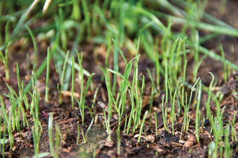 Grass Seed Germination Process Planting grass seed