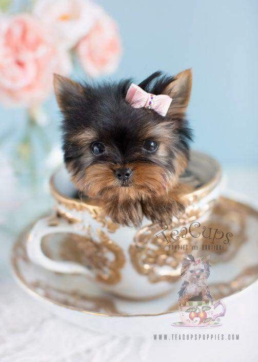 Photo page Facebook Must Love Teacup yorkie puppy