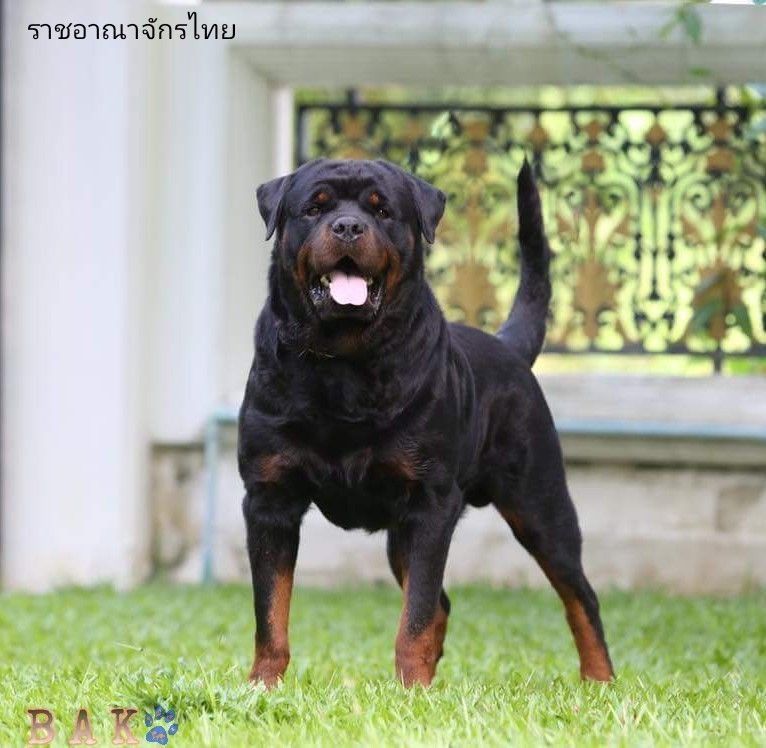 Bak From Thailand Rottweiler Rottweiler Dog Dogs