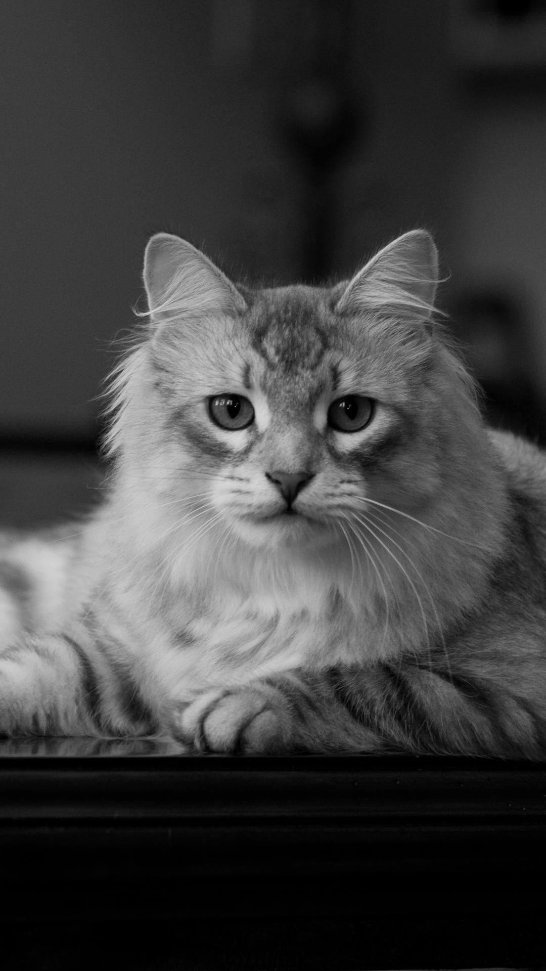 Siberian cat Siberian cat, Cat adoption, Cat wallpaper