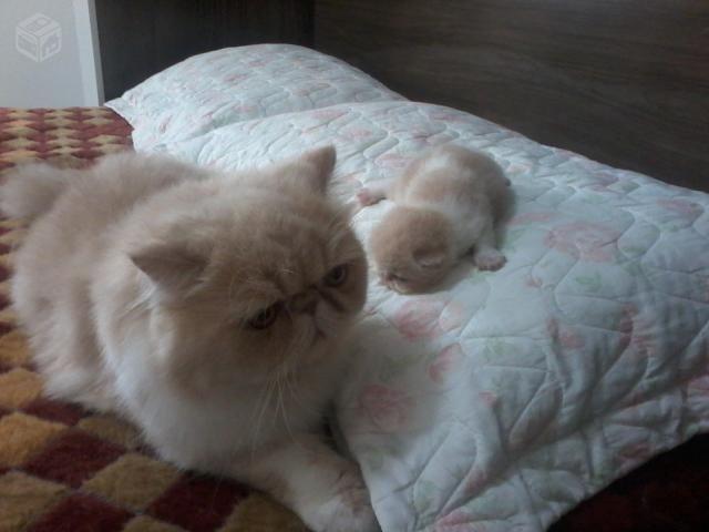 filhotes de gatos de raça - Pesquisa Google