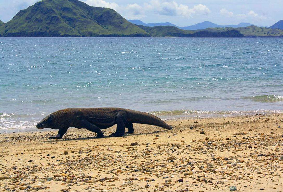 Komodo und seine Varane