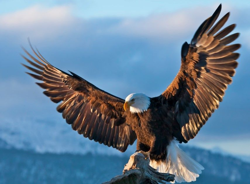 15 Amazing Animals That Start With The Letter E Eagle Wallpaper Eagle Pictures Bald Eagle