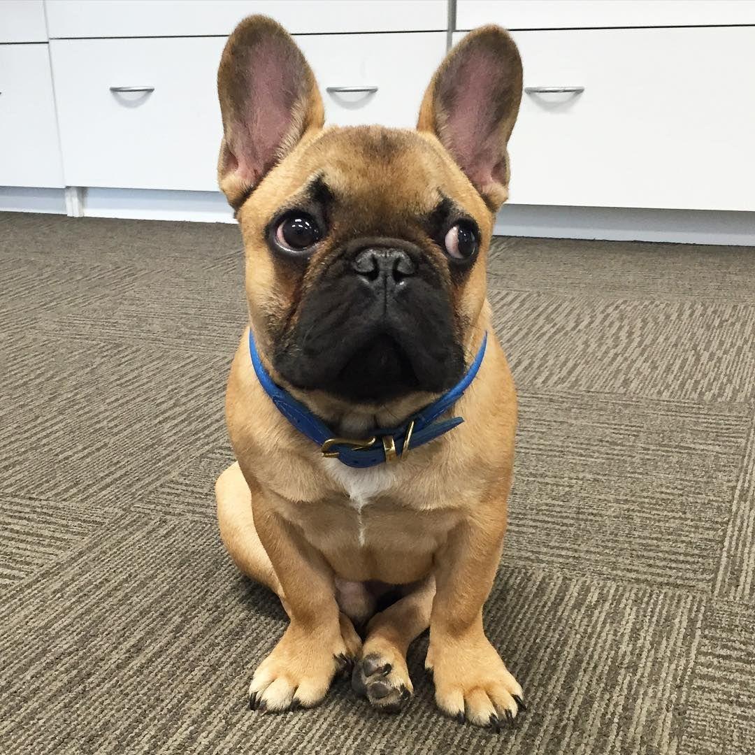 He is sooooo cute Französische bulldoggenbabys