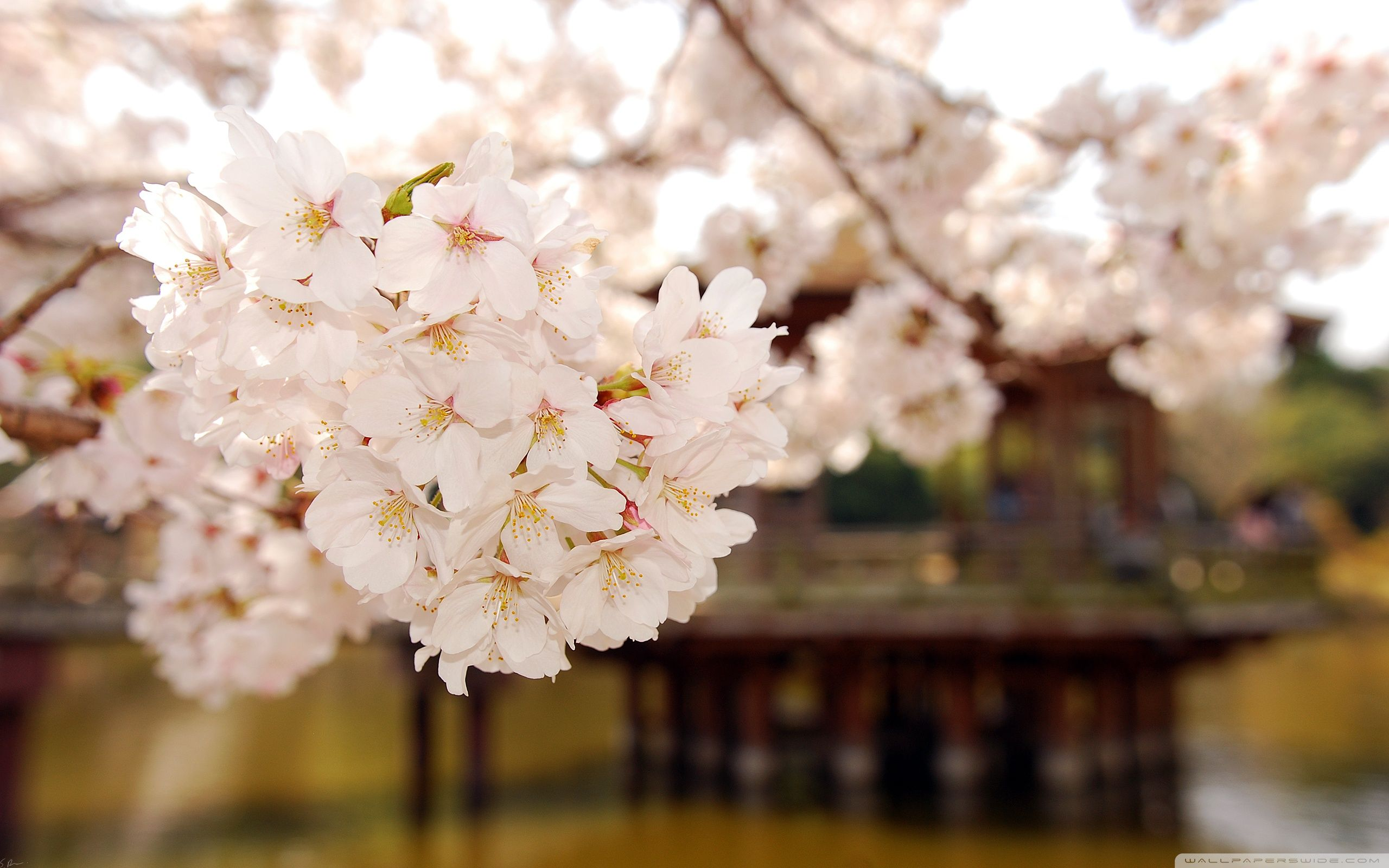 Cherry Blossoms In Japan Im Dreaming Of A Far Away Place
