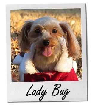 Lady Bug 8 27 13 Pets Online Pet Supplies Yorkie