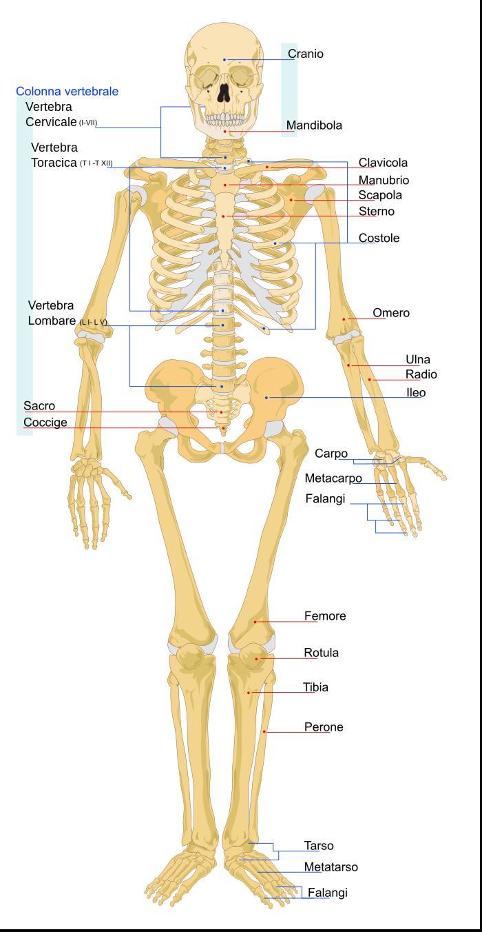 Scheletro (anatomia umana) - Wikipedia | Istruzione | Pinterest ...