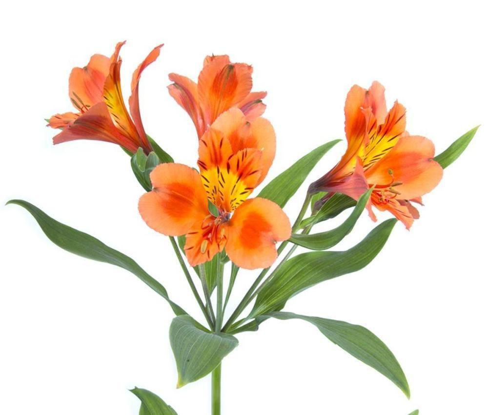 Orange Alstroemeria Lily Flowers Bulk Flowers Alstroemeria Colorful Flowers Arrangements Peruvian Lilies