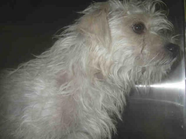 Bom Bom Urgent City Of Los Angeles South La Animal Shelter In Los Angeles Ca Young Male Norfolk Terrier Animals Cute Animal Photos Animal Shelter