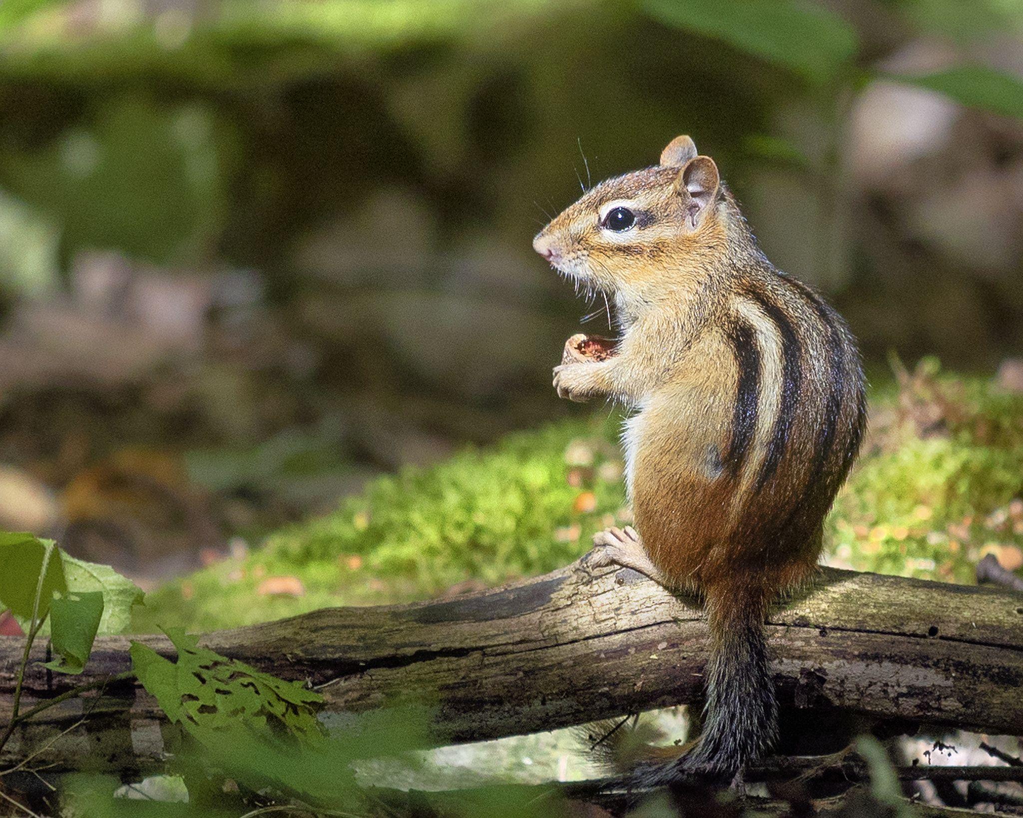 what do chipmunks eat in my garden