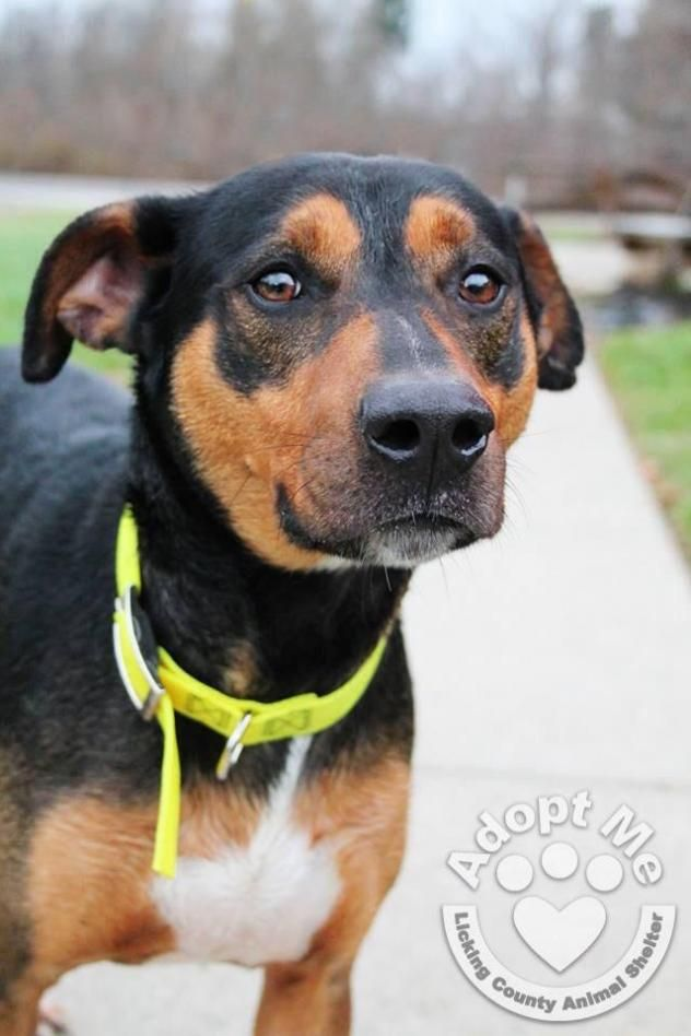 Jan 18/15 ---GOMER--- Beagle Mix Licking County Animal Shelter Heath, Ohio ~VW~ For more information on this adoptable pet, please contact the shelter directly About 677~ Gomer Scanned 5 Yrs. Vac. 11/22 28.6 lbs. Licking County Animal Shelter 544 Dog Leg Road Heath, OH 43055 Phone (740) 349-6562