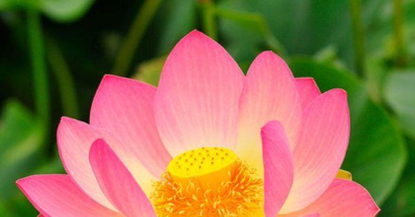flor de lotto   Lautaro   Pinterest   Lotus, Lotus Flowers and Flower