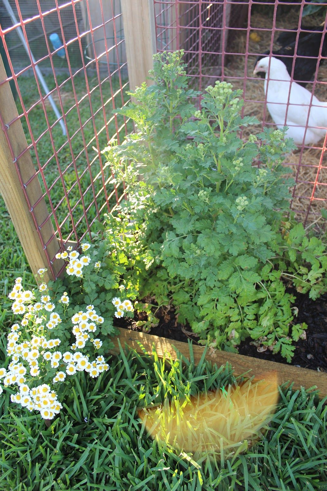 Pictures Of Garden Fence To Keep Chickens Out | Feverfew   Related To  Pyrethrum So A Good Insect Repellant