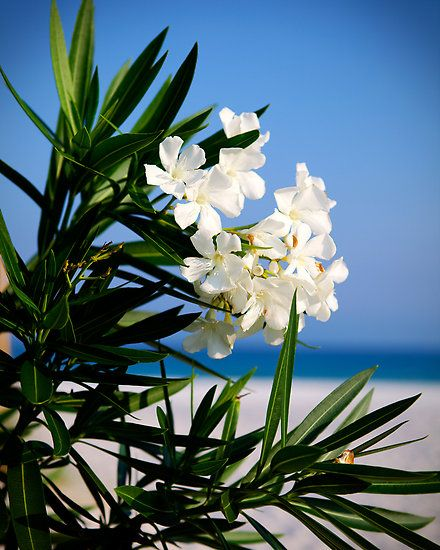 Oleander in bloom  Poisonous only when eaten Photo  Pam Peirce Medical case studies