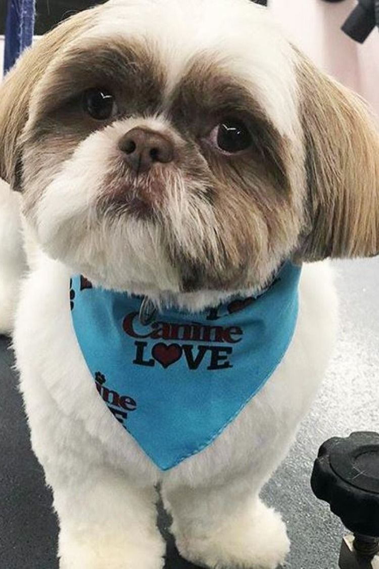Handsome Little Trent Feels Great After His Doggrooming On Our
