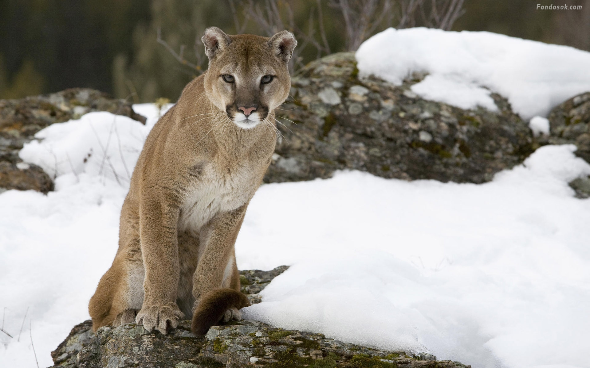 This Is A Cougar From Chile An Example Of Fauna Place