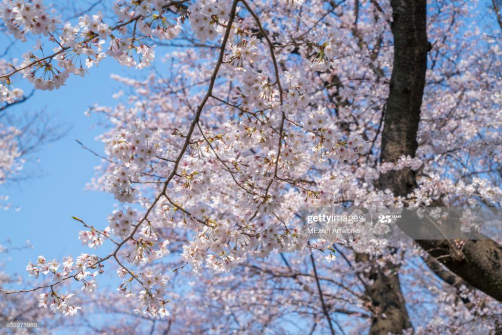 Sakura Cherry Blossom Tree At Ueno Park Tokyo During Spring Season Cherry Blossom Blossom Ueno Park