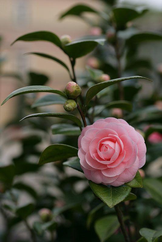 Camellia Pretty Flowers Beautiful Pink Flowers Pink Flowers