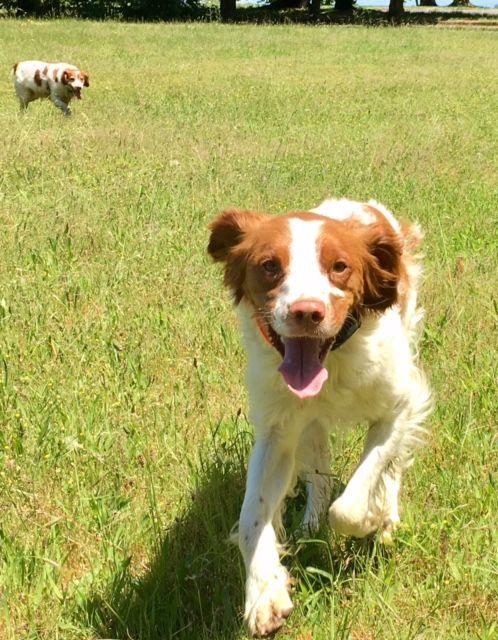 Brittany Dog For Adoption In Curwensville Pa Adn 584442 On Puppyfinder