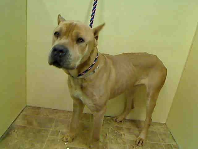 Manhattan Center KING - A1029794 MALE, TAN / WHITE, CANE CORSO MIX, 3 yrs STRAY - PRE RTO, HOLD FOR RTO Reason STRAY Intake condition UNH&UNTREA Intake Date 03/08/2015 https://www.facebook.com/Urgentdeathrowdogs/photos/pb.152876678058553.-2207520000.1426201553./975336439145902/?type=3&theater