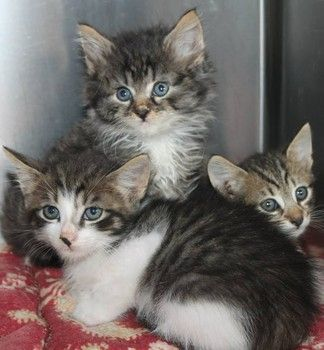 Beautiful tabby family, only a month old, are running out of time at SC shelter