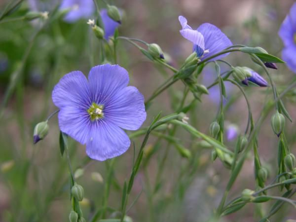 Linum lewisii blue flax perennial drought tolerant hardy to perennial evergreen h w fast growing full to part sun flowers in springsummer mightylinksfo