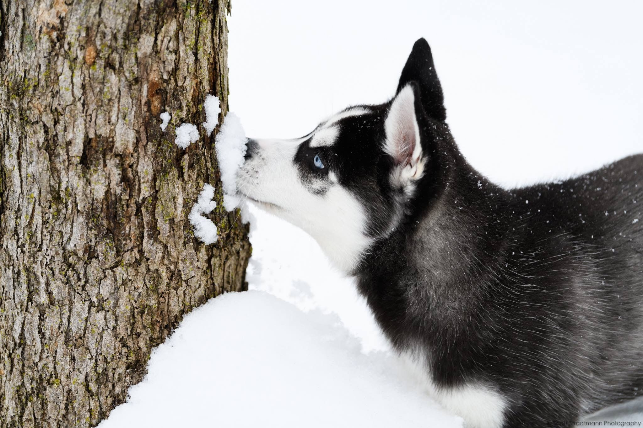 Siberian Husky Puppy Playing In The Snow Siberianhusky
