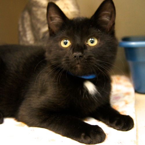 Adopted Ethel Is A 3 Month Old Female Black With White Domestic Short Haired Kitten She Is A Little Cutie Who Is So Loving Lucky Dogs Black Kitten Kitten