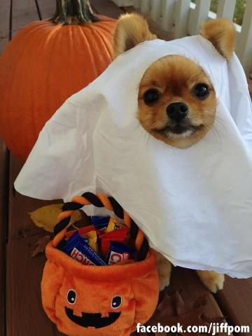 Jiff The Pomeranian Dressed Up For Halloween Pet Costumes