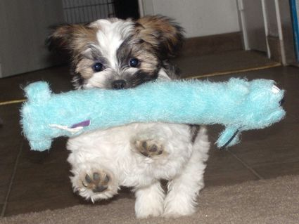 Malshi Maltese X Shih Tzu Somebodies Little Delight I M Sure