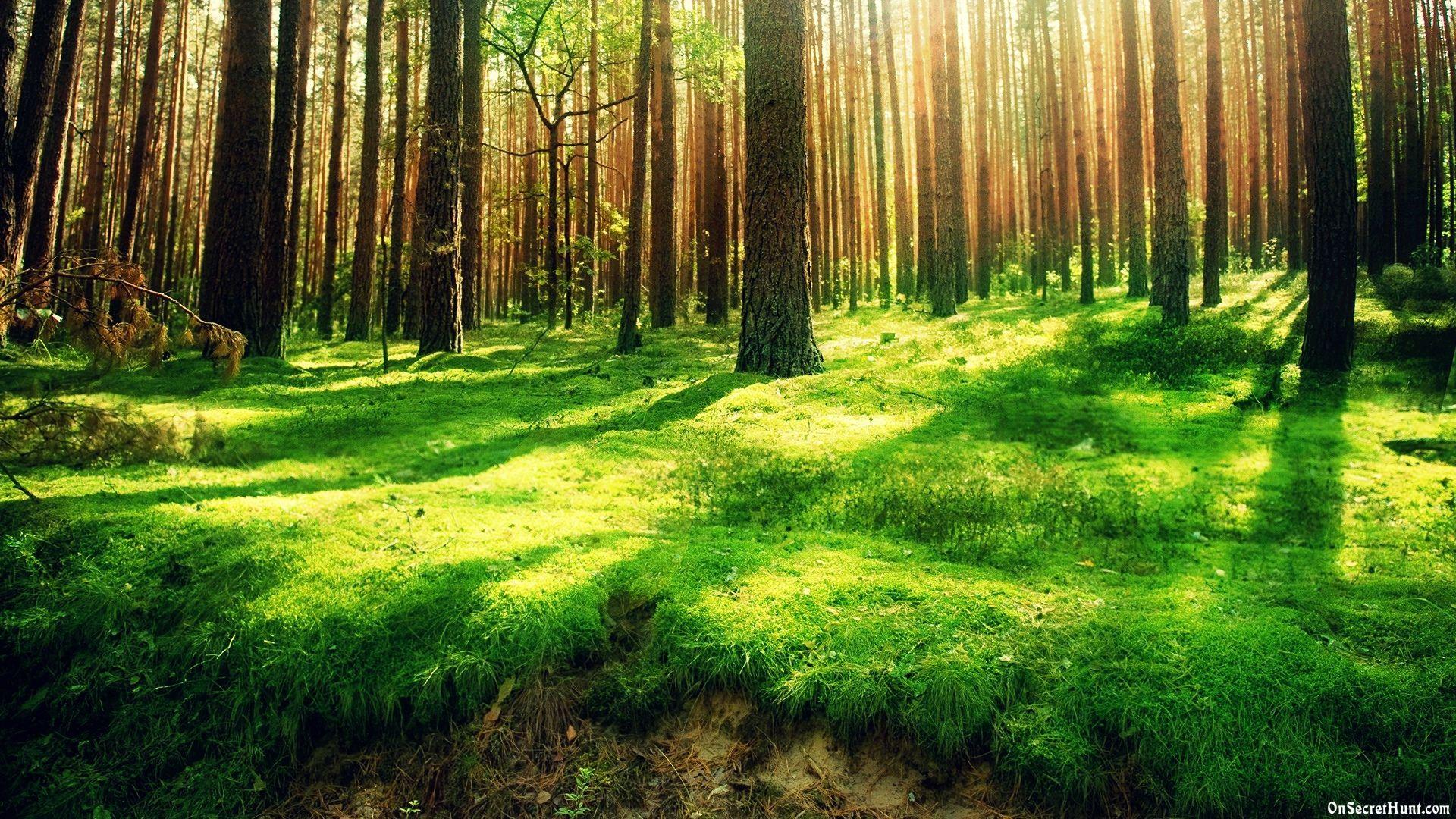 Vintage Fir Trees Forest HD desktop wallpaper Widescreen