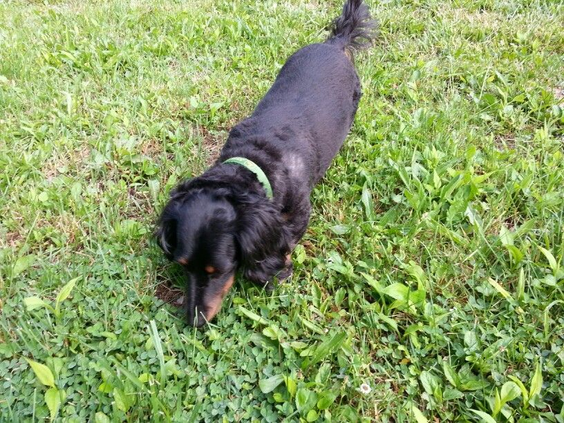 Monte Our Long Haired Dachshund Post Haircut Critters Found At