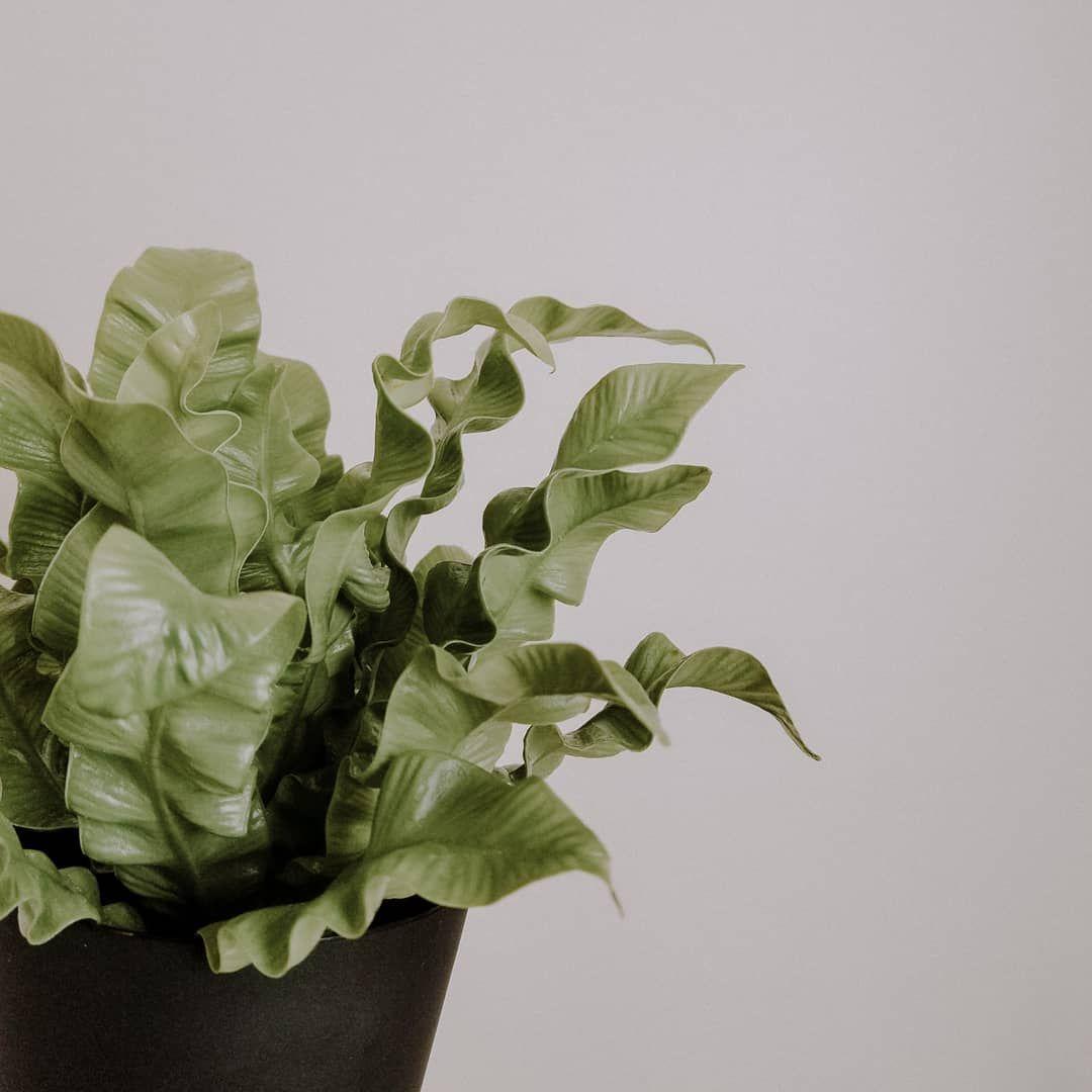 Crispy Wave Green Foliage Plants Leaves Japanese Asplenium Nidus Fern Plants At Home Living With Plants Air Purif Air Cleaning Plants Foliage Plants Fern Plant