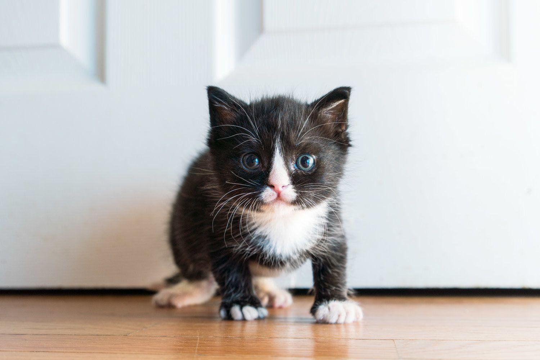 Gi Parasites Kitten Lady Litter Training Kittens Cat Tattoo Cats