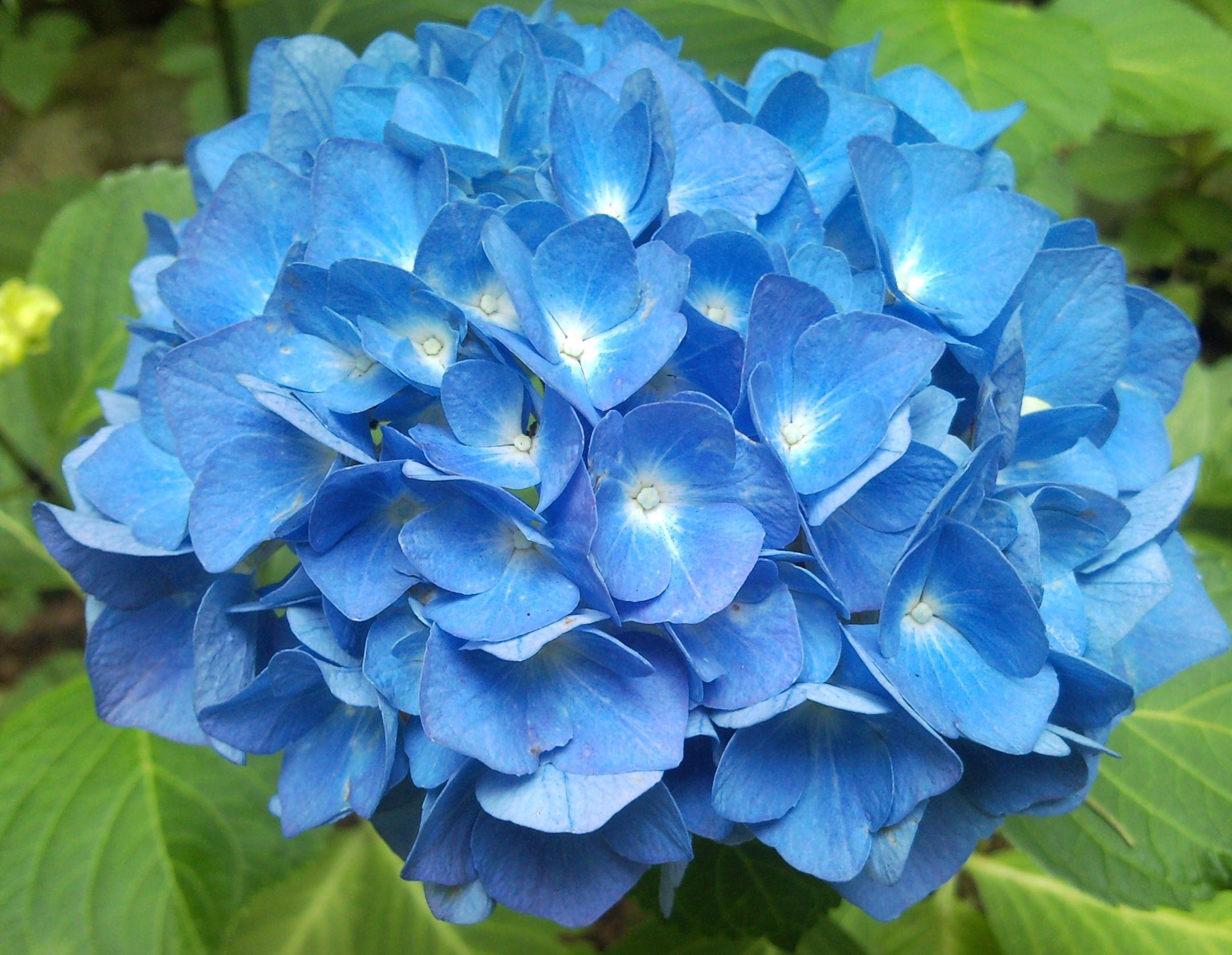 Blaue Hortensie Blumen Im Oktober Varios Pinterest Flowers