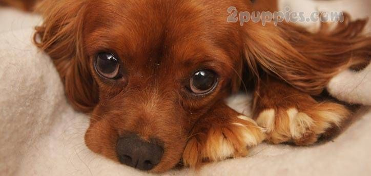 Dog parvo the deadliest dog disease with images sick