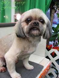 Shih Tzu Bulldog Mix With Images Shih Tzu Shih Tzu Haircuts